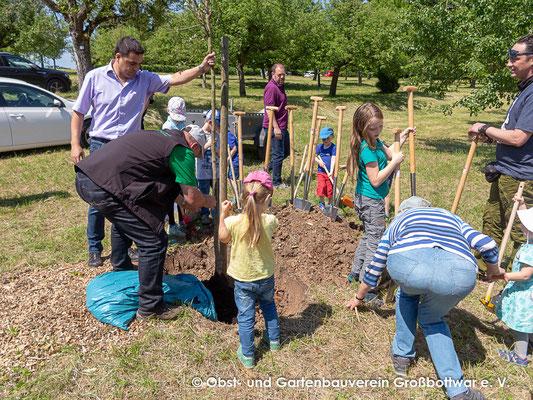 Der Baum (Knaus Birne) wird gepflanzt.