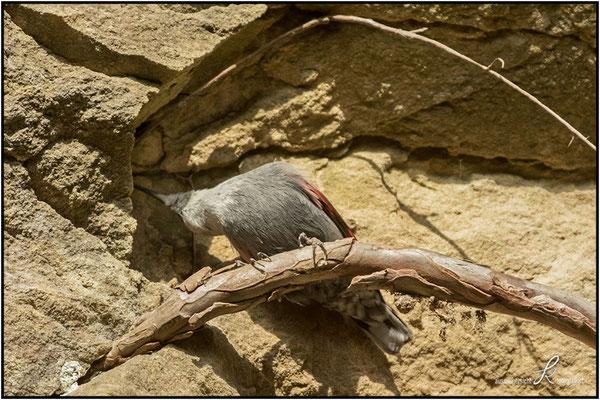 Mauerläufer - Nahrungssuche in Felsspalten