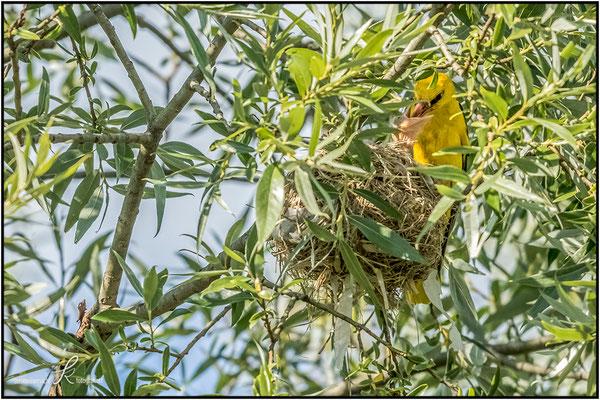 Pirol - Männchen bei der Fütterung am Nest