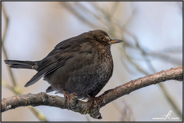 Amsel - copyright ausmeinersicht.at