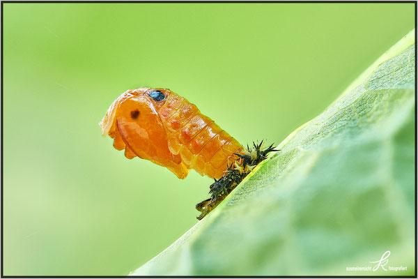 Puppe im Wandel zum Käfer