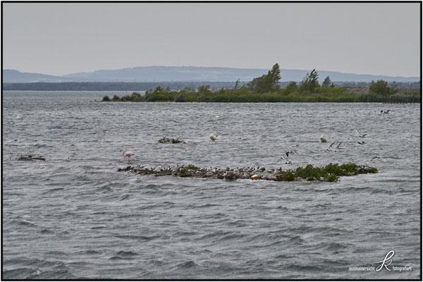 Rosa Flamingo - Durchzügler am Bodensee, wartet Schlechtwetterfront ab.