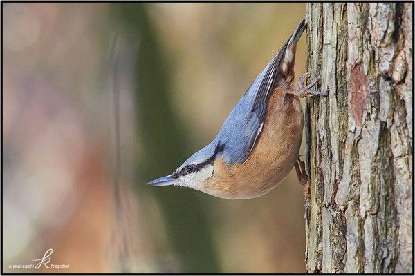 Kleiber - Nahrung: Insekten, Samen, Nüsse, im Winter auch häufig an Futterstellen anzutreffen