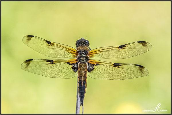 Vierfleck Libelle - copyright ausmeinersicht.at
