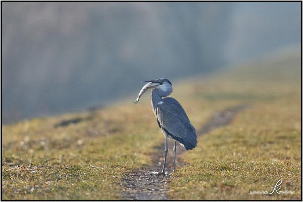 Fischreiher - Im Morgendlichem Gegenlicht mit erbeutetem Hecht