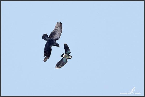 Krähe gegen Kiebitz