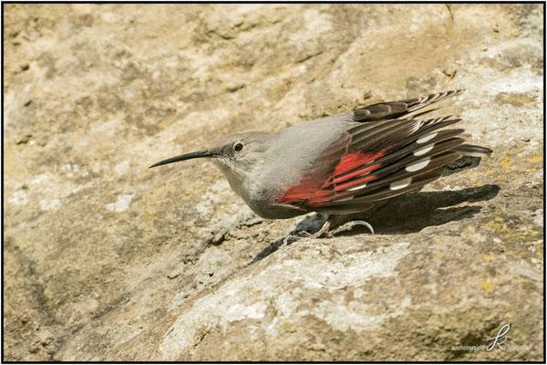Mauerläufer - Flügeloberseite ist Rot-Schwarz-Weiß gefärbt