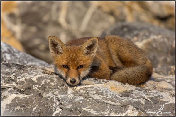 Fuchs - copyright ausmeinersicht.at
