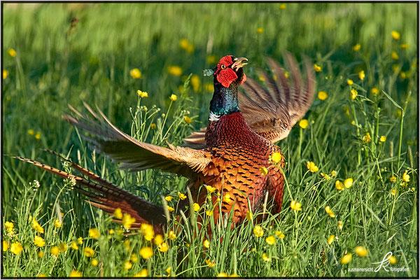 Flügelspannweite ca. 70 - 90 cm