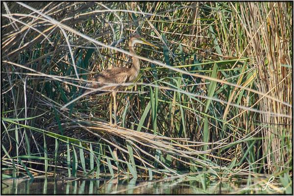 Purpurreiher - Jungvogel