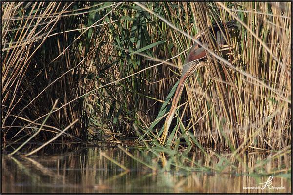 Alt Vogel auf der Suche nach dem passenden Schilfhalm für den Nestbau