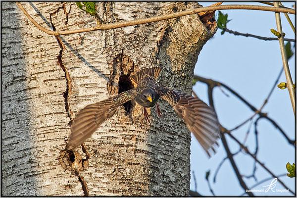 Star - Abflug vom Nest