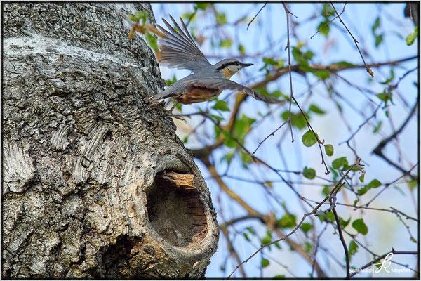 Kleiber - Abflug vom Nest