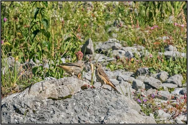Steinrötel - füttert Eidechse an Jungvogel