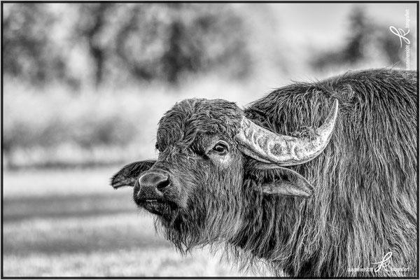 Wasserbüffel bearbeitet mit Capture One Pro 20 und Affinity Photo