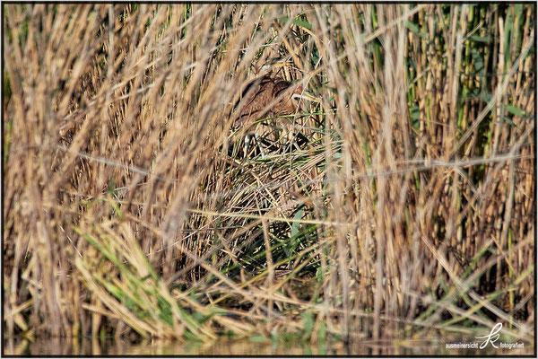 Zwei Jungvögel gut versteckt im Schilf