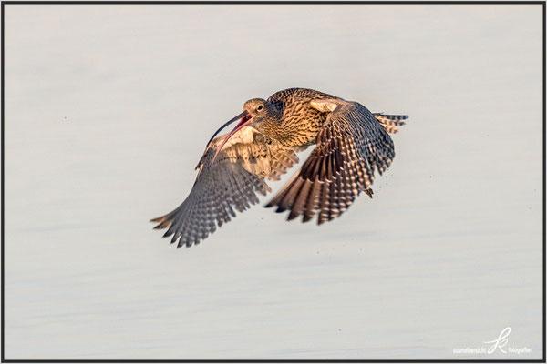 Großer Brachvogel kurz nach dem abheben - mit Pro Cap Einstellung fotografiert