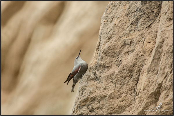 Mauerläufer - Brütet in Felsspalten auf 1000 - 3000 m Höhe