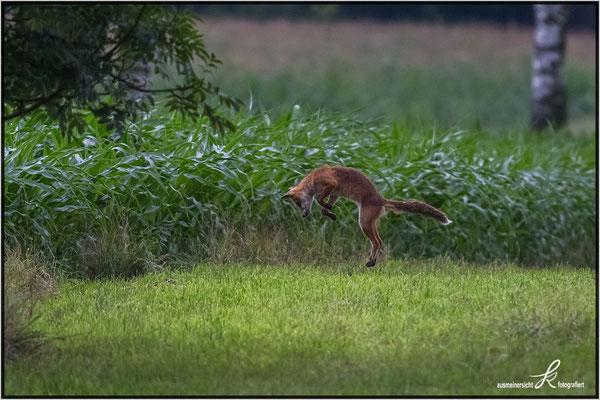 Fuchs - macht jagt auf Mäuse