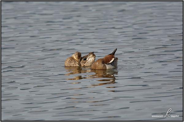 Knäckente - Männchen und Weibchen
