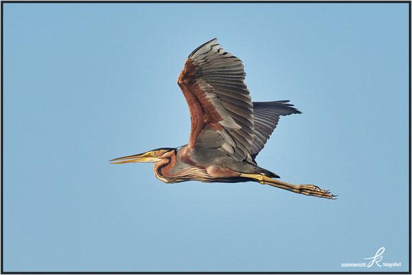 Alt Vogel, seine Größe ca. 70-90 cm, Flügelspannweite ca. 130 cm
