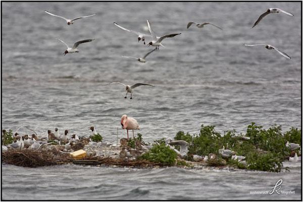 Rosa Flamingo - copyright ausmeinersicht.at