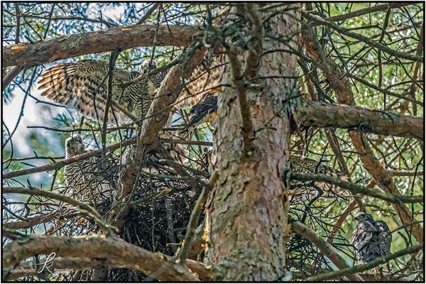 Sperber - Nest mit 5 Jungvögel