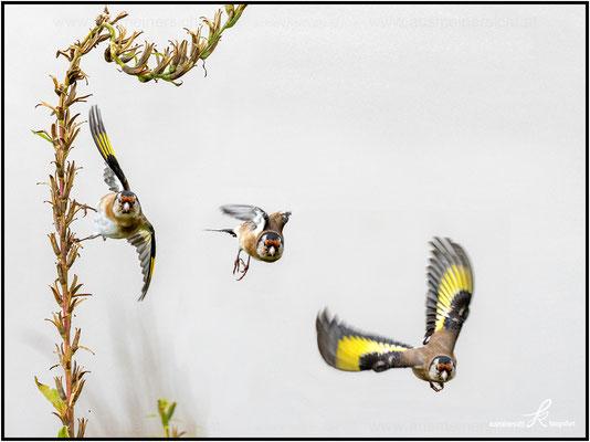 Stieglitz - Abflug Studie, Montage aus 3 Einzelbilder