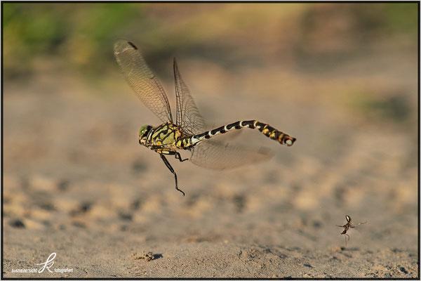 Libelle schüttelt lästige Ameise ab