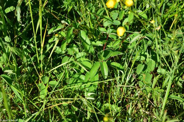 14.05.2019 Im Mai zeigt sich der Wiesenknopf schon prächtig.