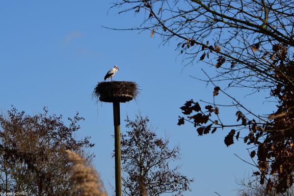 19.02.2019 Der Weißstorch hat sich früh schon seinen Mast gesichert.
