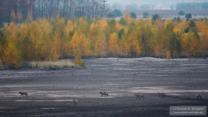 Wolfsrudel im Herbst