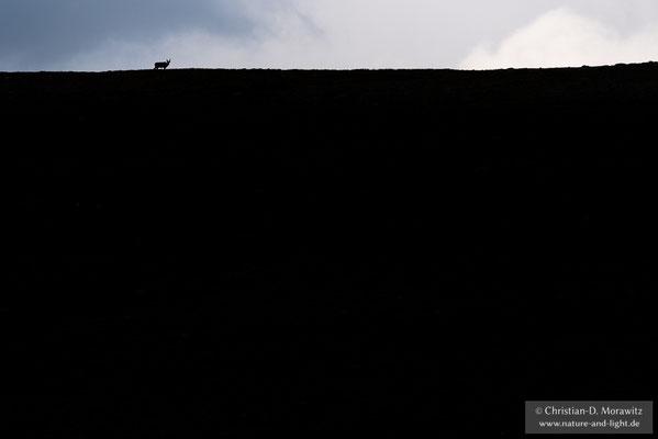 Wildes Rentier auf einer Bergkuppe