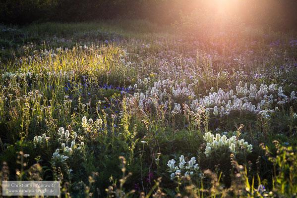 Blühende Wiesen im Abendlicht