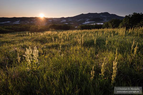 Blühender Germer in der abendlichen Landschaft