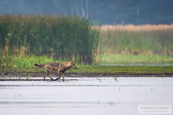 Eine Wolfsfähe am Teichufer