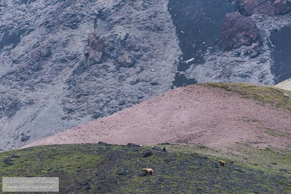 Bären am Vulkanhang