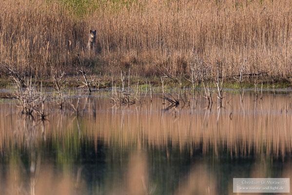 Wolf am Ufer eines Sees