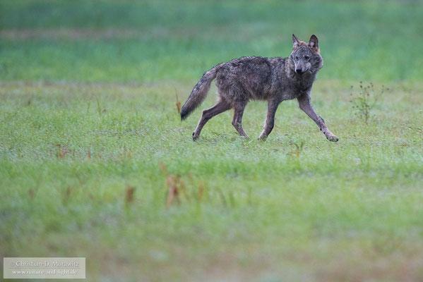 Wolfswelpe auf einer Wiese