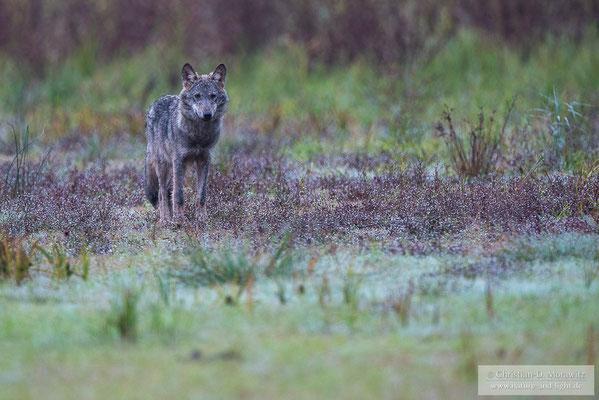 Wolfswelpe im Morgentau