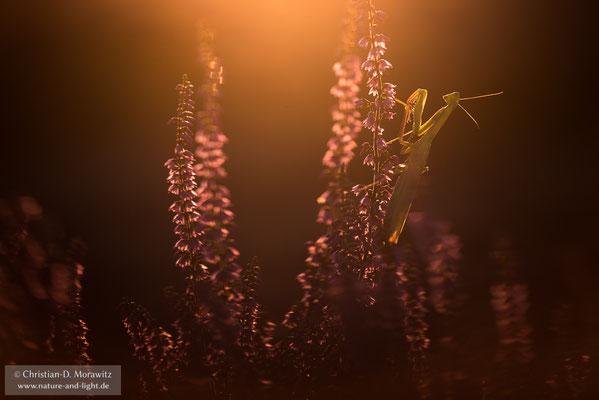 Mantis Religiosa in der blühenden Heide