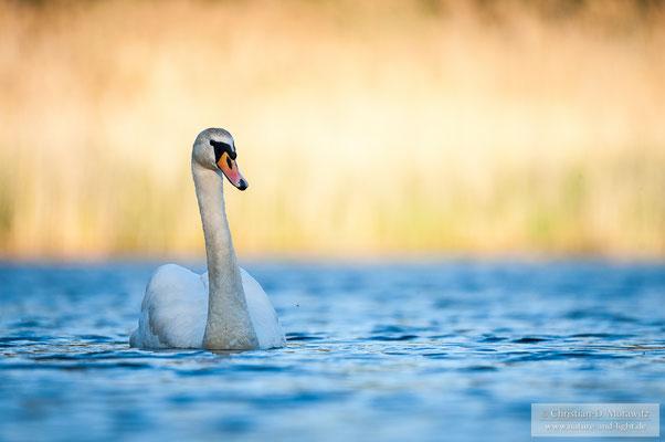 Höckerschwan auf einem Teich