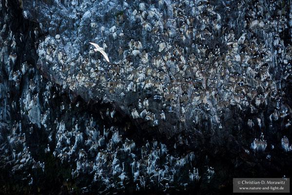 Eine Vogelkolonie am Pazifik