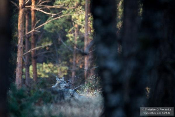 Sitzender Wolf auf einer Lichtung