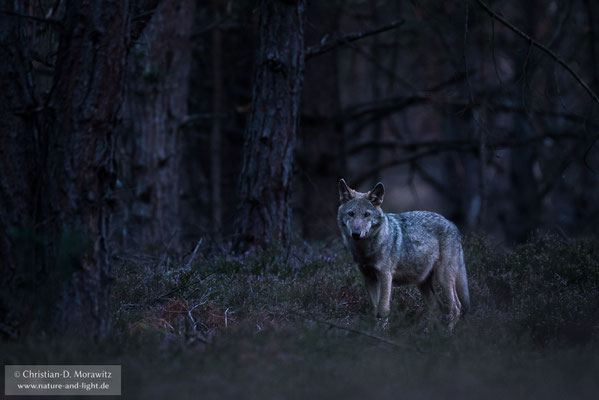 Wolfswelpe in der Morgendämmerung