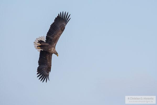 Seeadler im Sturzflug