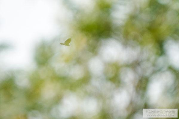 Mäusebussard im Flug hinter einem Baum mit Serienbildmodus und AF-C, 800 mm, f/11, 1/1600 Sek. und ISO 3200