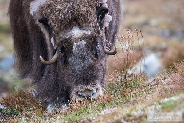 Moschusochse auf der Tundra