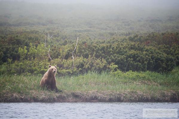 Ein Kamtschatka-Braunbär sitzt am Fluss und wartet auf den Lachszug