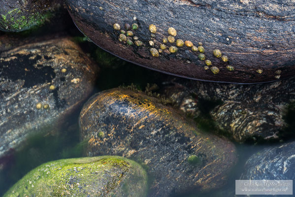 Napfschnecken zwischen den Steinen